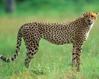Реферат про гепарда на английском языке 8